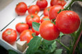 Free Picking Tomatoes Stock Photography - 20381392