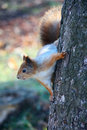 Free Squirrel On The Tree Royalty Free Stock Images - 20384249