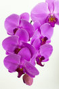 Free Purple Beautiful Orchid On The White Background Royalty Free Stock Photography - 20386047
