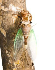 Cicada Metamorphosis. Last Molt - The Transfor Stock Photos