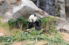 Free Giant Panda Is Eating Green Bamboo Leaf Stock Photos - 20380553