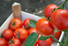 Free Red Ripe Tomatoes Royalty Free Stock Photography - 20381037