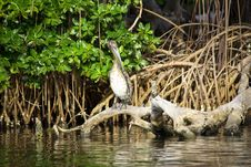 Free Brown Pelican Sitting On The Roots Stock Photos - 20381073