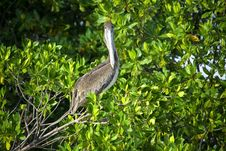 Free Brown Pelican Sitting On The Tree Royalty Free Stock Photos - 20381088