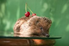 Free Cute Hedgehog Royalty Free Stock Photos - 20381198