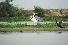 Great Blue Heron And On The Bank In The Wetlands