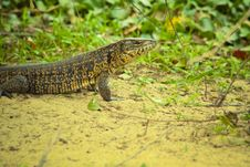 Free Tegu Lizard Standing On The Ground Stock Photography - 20381272