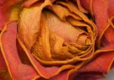 Free Dry Rose Royalty Free Stock Photos - 20381518