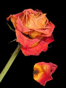 Free Dry Rose Stock Images - 20381524