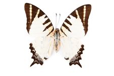 Free Brown And White Butterfly Graphium Decolor Royalty Free Stock Photography - 20382047