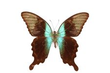 Free Black And Green Butterfly Papilio Perantus Stock Photography - 20382092