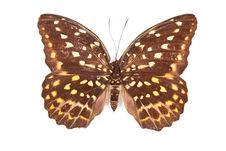 Free Brown And Yellow Butterfly Lexias Pardalis Elora Royalty Free Stock Images - 20382139