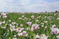 Free Poppy Field Royalty Free Stock Image - 20383156