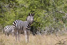 Free Zebra Royalty Free Stock Image - 20383596