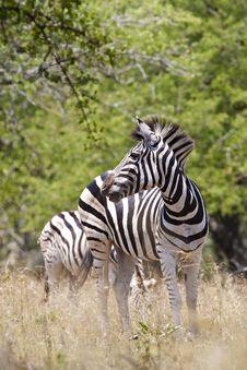 Free Zebra Royalty Free Stock Image - 20383646