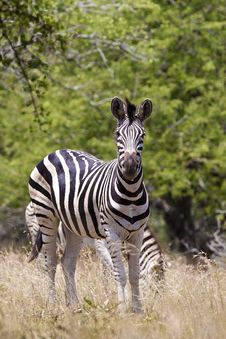 Free Zebra Stock Photography - 20383682