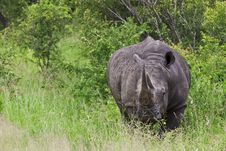 Free Rhinoceros Royalty Free Stock Images - 20383819