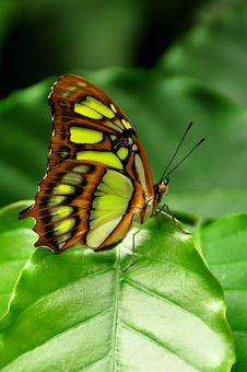 Free Pretty Malachite Butterfly Stock Photo - 20384110
