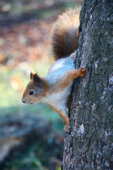 Squirrel On The Tree Royalty Free Stock Images