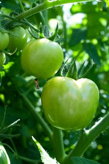 Free Some Green Tomatoes Hang On A Bush. Stock Photos - 20384603