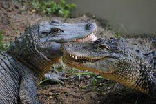 Free Alligator Royalty Free Stock Image - 20384736