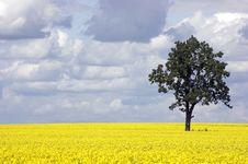 Free Rape Field And One Tree Stock Image - 20384771