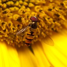 Free Hover Fly On Big Yellow Sunflower Stock Images - 20384784