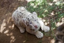 Free Baby White Tiger Royalty Free Stock Image - 20385226