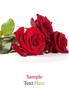 Free Red Roses With Water Drops Royalty Free Stock Photo - 20385235