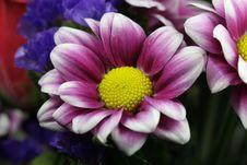 Purple Chrysanthemum Stock Photos