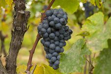Free Grapes Royalty Free Stock Images - 20385939