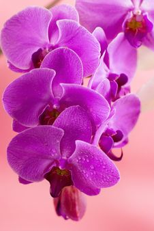 Free Purple Orchid On Pink Background Royalty Free Stock Photos - 20386168
