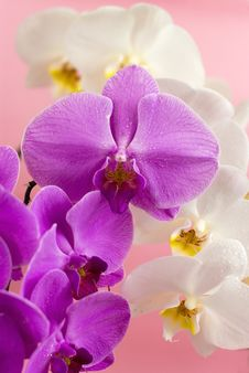 Free Purple And White Orchid Stock Image - 20386211
