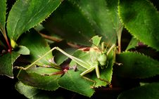 Free Grasshopper Royalty Free Stock Photography - 20386817