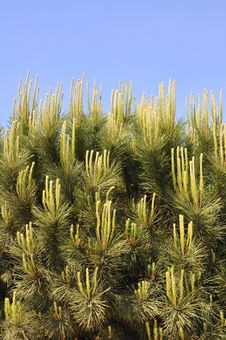 Free Pine Tree Royalty Free Stock Photo - 20387445