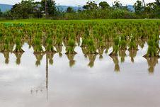 Free Rice Seedlings Stock Image - 20387681