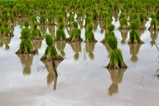 Free Rice Seedlings Royalty Free Stock Photography - 20387687