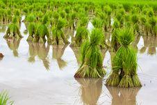 Free Rice Seedlings Royalty Free Stock Image - 20387706