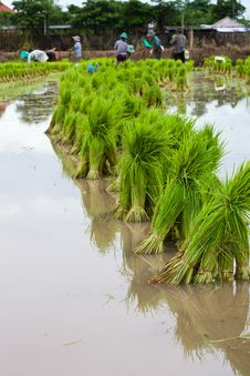 Rice Seedlings And Farmers Royalty Free Stock Photography