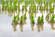 Free Rice Seedlings Stock Photo - 20387730