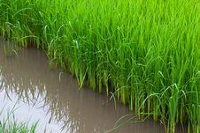 Free Rice Seedlings Royalty Free Stock Image - 20387766