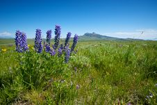 Free Silver Lupine Flowers On A Ranch Stock Image - 20388551