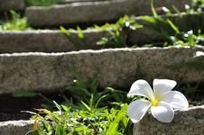 Free Plumeria Flower On The Rock And Green Grass Royalty Free Stock Photography - 20389267