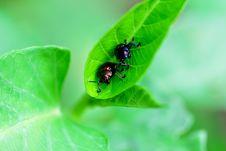 Free Beetles Royalty Free Stock Image - 20389976