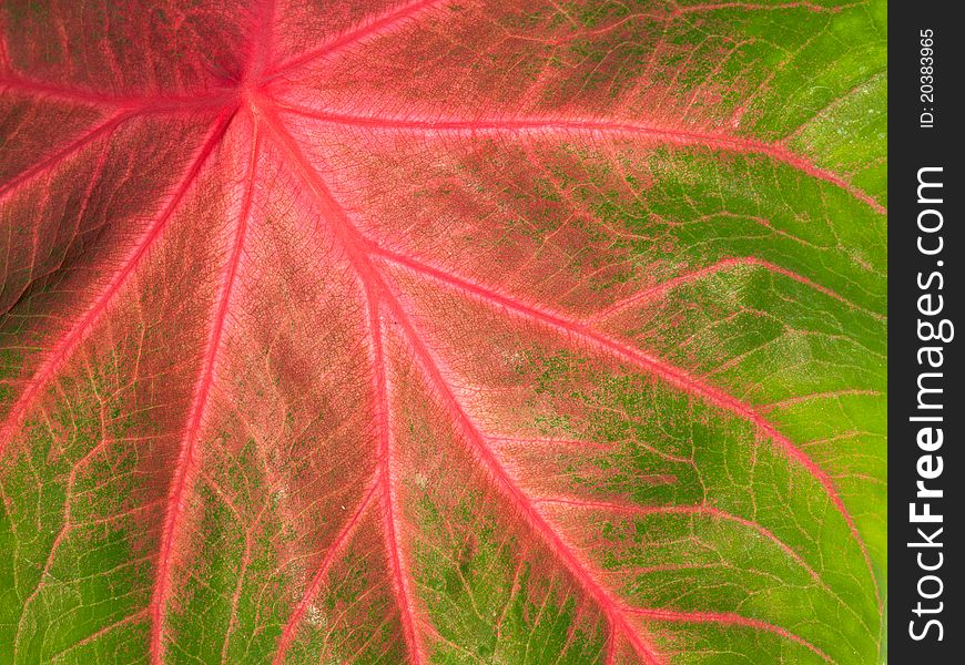 Colorful green and pink leaf