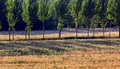 Free Wheat Fields And Woods Royalty Free Stock Image - 20390606