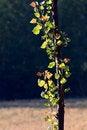 Free Poplar Leaf Stock Images - 20390664