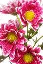 Free Chrysanthemum Flower Stock Images - 20393944