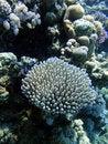 Free Coral Bush Royalty Free Stock Photos - 20395118
