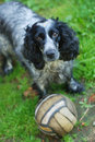 Free Spaniel Look At Camera Stock Images - 20395994